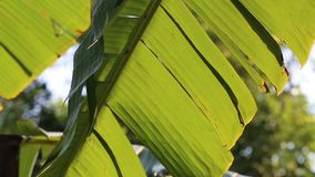 Árbol de plátano almacen de video