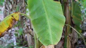 Árbol de plátano metrajes