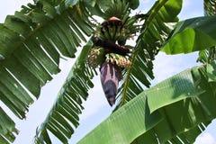 Árbol de plátano Imágenes de archivo libres de regalías
