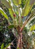 Árbol de plátano con las frutas y las flores Fotografía de archivo