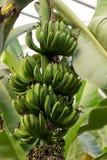 Árbol de plátano con los plátanos verdes imagen de archivo