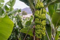 Árbol de plátano con un manojo de plátanos Imagenes de archivo