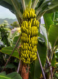 Árbol de plátano con un manojo de plátanos Imagen de archivo libre de regalías