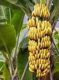 Árbol de plátano con un manojo de plátanos maduros Imagen de archivo