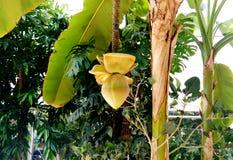 Árbol de plátano con un manojo de producir plátanos verdes en un jardín botánico del invernadero imágenes de archivo libres de regalías
