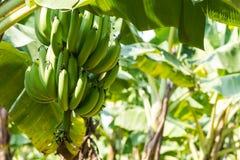 Árbol de plátano en la plantación Imagen de archivo libre de regalías
