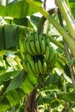 Árbol de plátano en la plantación Foto de archivo