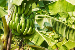 Árbol de plátano en la plantación Fotografía de archivo