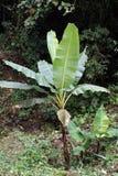 Árbol de plátano en la reserva ecológica de Cotacachi Cayapas Imagenes de archivo