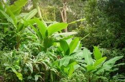 Árbol de plátano en la selva tropical Fotografía de archivo