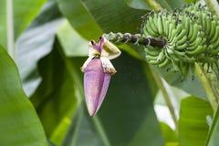 Árbol de plátano fructuoso Fotografía de archivo libre de regalías