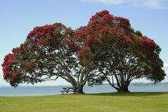 Árbol de Pohutukawa imagen de archivo