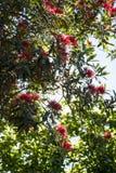 Árbol de Pohutukawa Fotos de archivo libres de regalías
