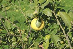 Árbol de pomelo Fotografía de archivo