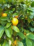 Árbol de pomelo Foto de archivo libre de regalías