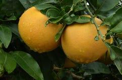 Árbol de pomelos Fotos de archivo