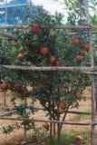 Árbol de Pomogrenate por completo de frutas Foto de archivo libre de regalías