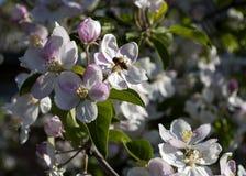 Árbol de Pple en la floración en primavera Foto de archivo libre de regalías