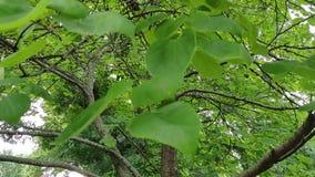 Árbol de Redbud en el verano de Kansas almacen de metraje de vídeo