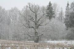 Árbol de roble Imagen de archivo