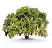 Árbol de roble Imágenes de archivo libres de regalías