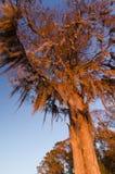 Árbol de roble Fotos de archivo
