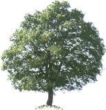 Árbol de roble libre illustration