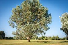 Árbol de roble Fotografía de archivo