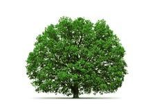 Árbol de roble aislado Fotografía de archivo libre de regalías