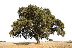 Árbol de roble aislado Foto de archivo