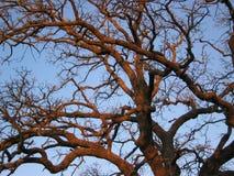Árbol de roble de la puesta del sol Fotografía de archivo libre de regalías