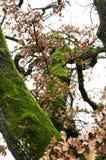 Árbol de roble del almizcle en un día del otoño Fotografía de archivo