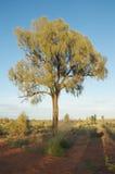 Árbol de roble del desierto Imagen de archivo