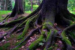 Árbol de roble después de la lluvia Fotos de archivo