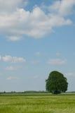 Árbol de roble en comienzo del verano Fotos de archivo