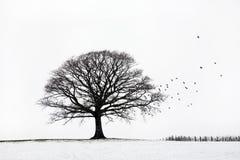 Árbol de roble en invierno Imagen de archivo libre de regalías