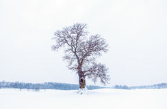 Árbol de roble en invierno Foto de archivo libre de regalías