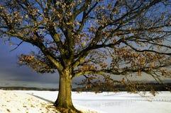 Árbol de roble en invierno Imágenes de archivo libres de regalías