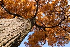Árbol de roble en la caída Foto de archivo libre de regalías