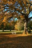 Árbol de roble en la caída Fotografía de archivo