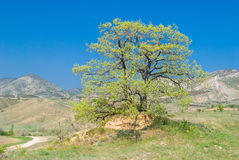 Árbol de roble en la elevación Foto de archivo libre de regalías