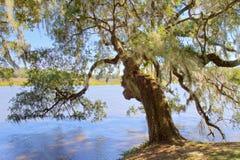 Árbol de roble en la plantación de la magnolia, SC de Charleston fotografía de archivo libre de regalías
