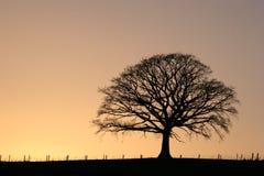 Árbol de roble en la puesta del sol Fotografía de archivo libre de regalías
