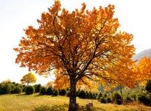 Árbol de roble en otoño fotografía de archivo
