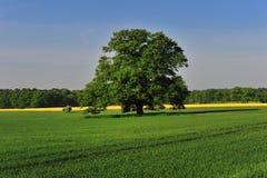 Árbol de roble en resorte Fotografía de archivo libre de regalías