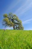 Árbol de roble en resorte foto de archivo libre de regalías