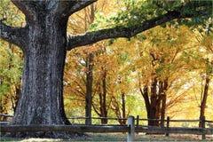 Árbol de roble grande Fotos de archivo