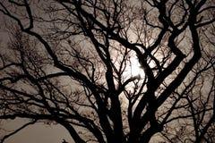 Árbol de roble iluminado por la luna Imagenes de archivo