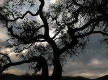 Árbol de roble majestuoso Imagen de archivo