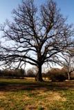 Árbol de roble poderoso Fotografía de archivo